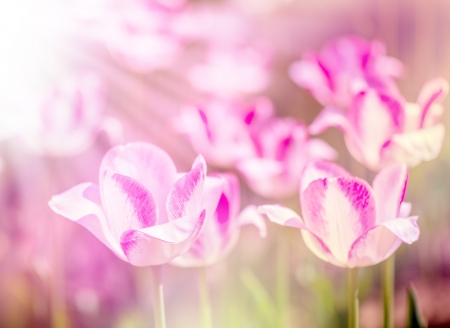 colorize: Defocus beautiful purple flowers - tulips. Image with bright summer color filters
