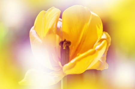 colorize: Defocus beautiful yellow flower  Image ща tulip with bright summer color filters