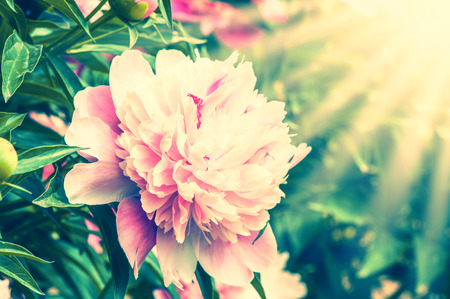 colorize: Closeup view of peony flower outdoor
