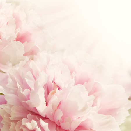 Defocus floral background Closeup view of peony flower with sun light and copy space Stock Photo