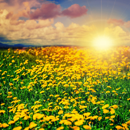 Beautiful summer background. Dandelion field and sunset.  photo