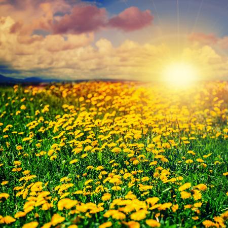 Beautiful summer background. Dandelion field and sunset.  photo