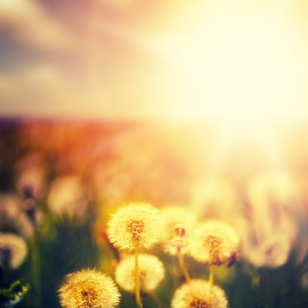 Beautiful floral background. dandelion flowers on green spring meadow and sunrise photo