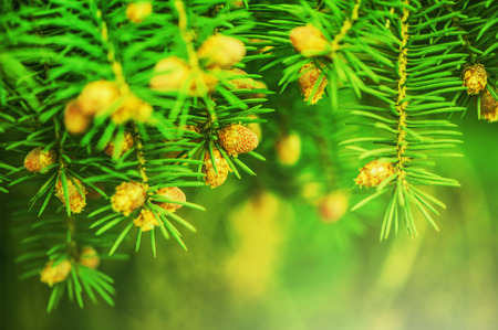 Young shoots of pine trees in the forest spring  photo