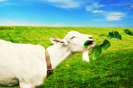 White goat grazed and has a lunch on a meadow or on a farm. Goat eating grass photo