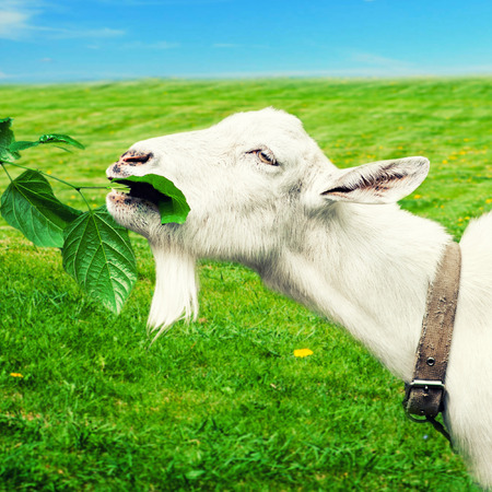 are grazed: White goat grazed and has a lunch on a meadow or on a farm. Goat eating grass Stock Photo