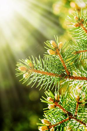 松の木の若芽は森の春 写真素材