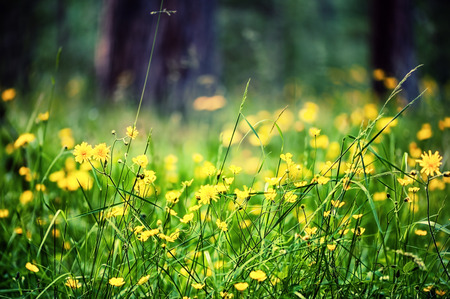 tonal: Beautiful defocus closeup view of meadow with bright yellow wild flowers. Tonal correction Stock Photo
