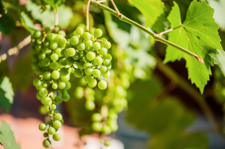Blur defocus floral spring background texture with young green grapes on branch in vineyard Stock Photo