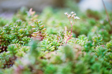 Blur defocus floral spring background texture with sedum field in garden