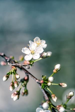 Defocus floral background spring cherry flowers