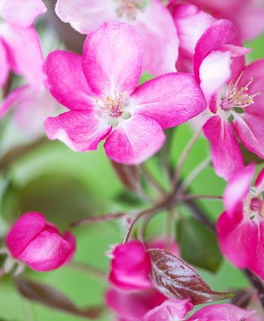 Macro view - Defocus floral background spring pink cherry flowers close up. Japan Sakura
