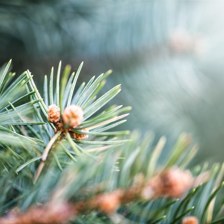 Defocus abstract floral background Branch of spruce with young little spring cones