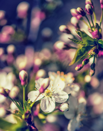 Macro view - Defocus floral background spring white cherry flowers close up.
