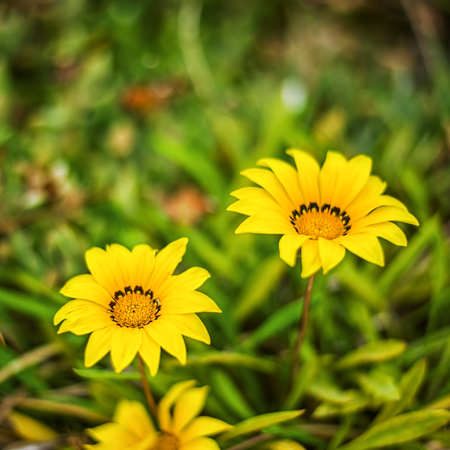 Defocus beautiful floral background. Yellow flowers with green leaves on grass