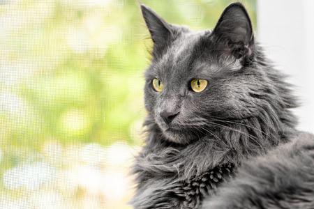 Close up portrait of beautiful gray cat lies on the windowsill near an open window with mosquito netting. Macro view Stock Photo