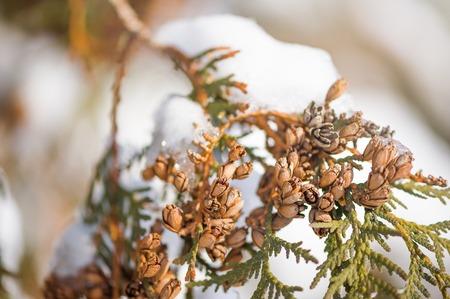 Macro shooting of thuja branches with snow and cones of seeds
