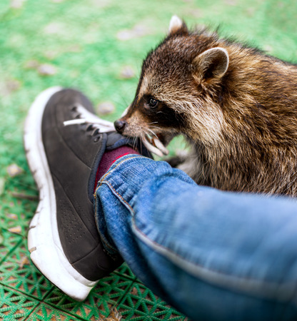 Baby cub raccoon indoors playing with laces on shoes, nibbles