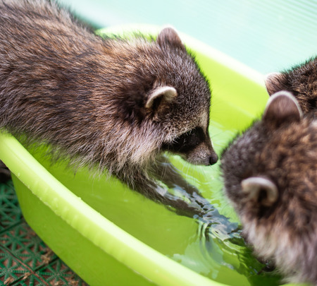 Baby cub raccoon plays with his friends - washes in a basin of water indoors Stock Photo
