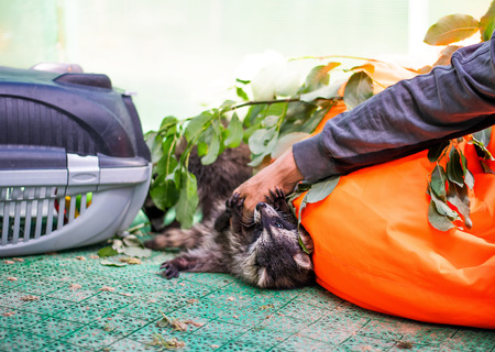 Baby cub raccoon playing indoors with man hand in the aviary