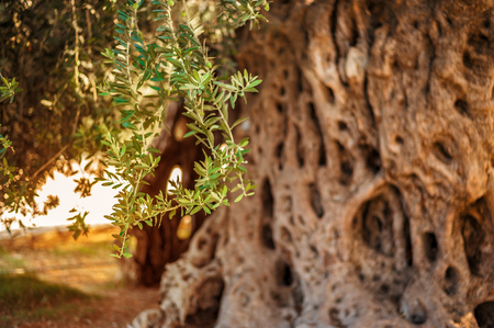 Background texture with 1500 year old olive tree trunk with leaves and olive berries for oil production in cyprus