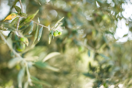 Defocus Background texture with olive tree leaves, branches and berries for oil production in cyprus or greece