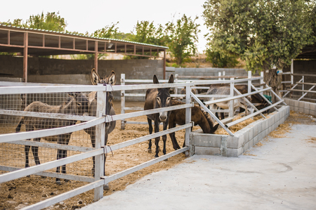 Young beautiful donkeys are standing in the stall behind the fence outside