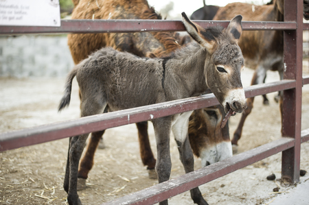 Young beautiful baby donkey is standing in the stall behind the fence outside and eat carob fruit