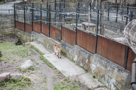 a large striped tiger walks through its aviary at the outside zoo of Kaliningrad in Russia