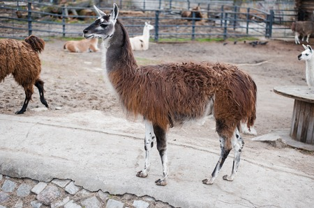 Animals in captivity. Lamas live in their aviary in an outdoor zoo in Russia Stock Photo