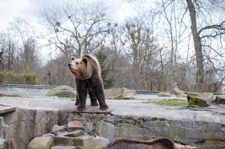 The brown bear is in his aviary of a large zoo in the open air in Kaliningrad