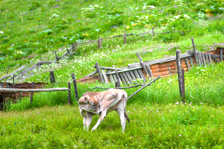 A young bull of brown color grazes on a green alpine meadow in summer Stock Photo