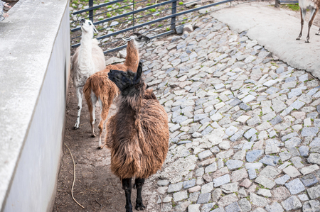 Animals in captivity. Lamas live in their aviary in an outdoor zoo in Russia Standard-Bild - 115191323