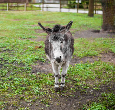 Animals in captivity. Donkey live in their aviary in an outdoor zoo in Russia Stock Photo