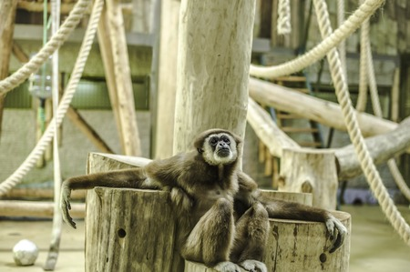 Animals in captivity. Lar gibbon live in their aviary in an outdoor zoo in Russia Stock Photo