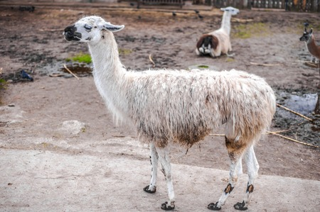 Animals in captivity. White Lama live in their aviary in an outdoor zoo in Russia