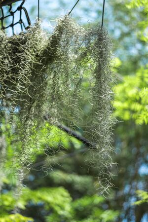 Tillandsia Usneoides or Spanish moss is an epiphytic flowering plant in the garden of plants and spices in Sri Lanka
