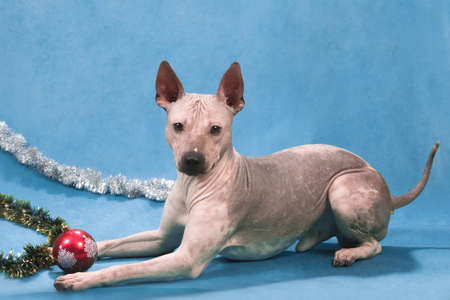 American hairless terrier lies on a blue background with a Christmas ball and tinsel Stockfoto