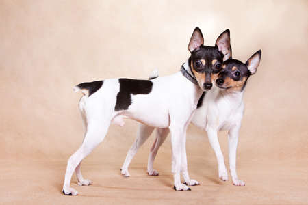 Two American those Fox of a terrier stand on beige background
