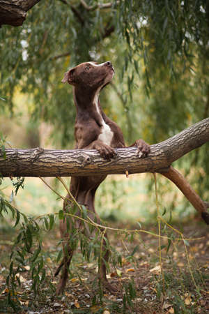 The brown dog of breed a pit bull terrier costs on hinder legs, having put lobbies on a tree 版權商用圖片