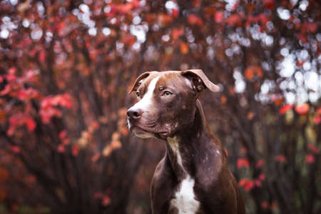 Portrait of a dog of breed a pit bull terrier against the background of red autumn bushes