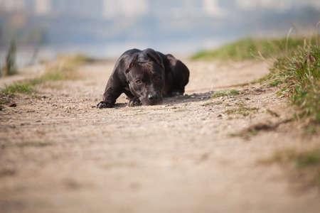 Sad black dog rock American Staffordshire terrier lies on sandy trail