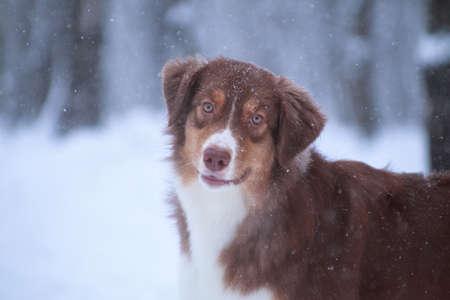 Australian Shepherd breed dog (aussi) looks closely