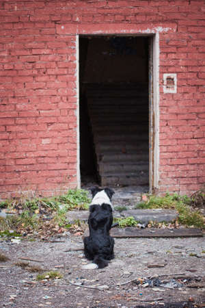 Rescue dog Border Collie sits and waits for a search command from an abandoned empty building
