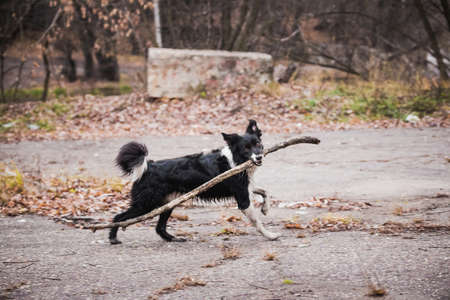 Funny dog Border Collie breed, rides with a stick in his mouth