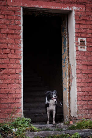 Rescue dog, Border Collie breed, stands in the doorway of an empty building on the background of the stairs