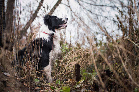 black and white border collie dog sits in the forest next to the remains of buildings human hands