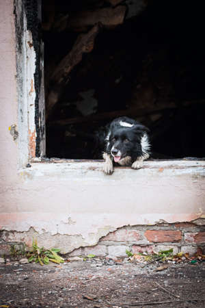 Border Collie Breed Rescue Dog Jumps Out Of The Window Of A Burnt Building
