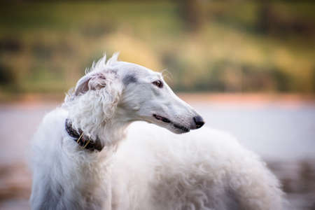Portrait of a white dog breed Russian canine borzoi on a background of water and greenery