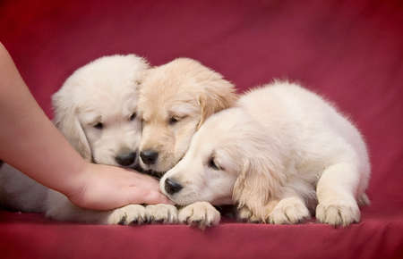 Three little smart puppy of the Golden Retriever breed gently sniff the hand of their mistress